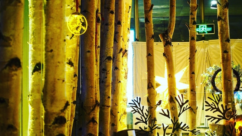 Finnish Birch Trees in Beijing
